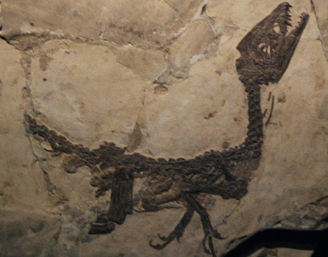 Ciro il cucciolo di Scipionyx samniticus