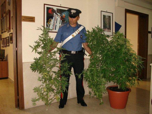 Piante marijuana sequestrate