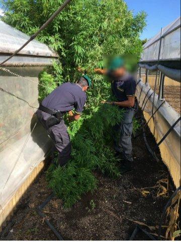 Guardia di Finanza di Salerno. Sequestro piante di marijuana
