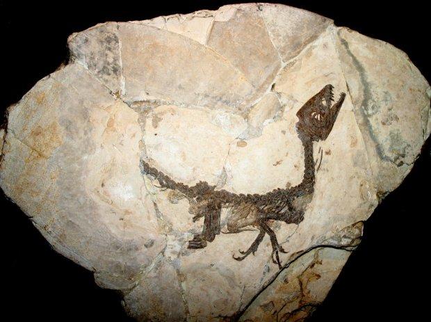 Milano, Museo storia naturale - Scipionyx samniticus - Foto Giovanni Dall'Orto. Con licenza Attribution tramite Wikimedia Commons