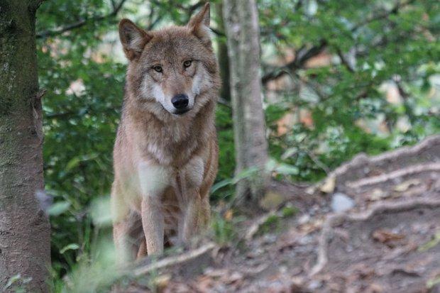 Randagismo, lupi ed ibridi in Provincia di Benevento