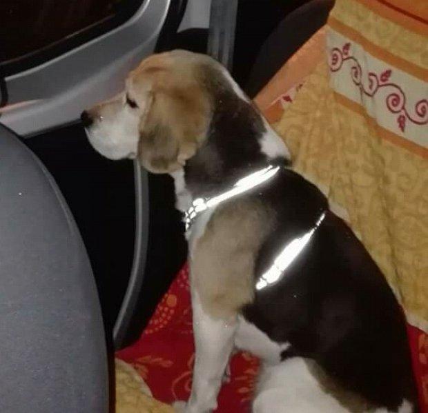 La cagnolina di razza Beagle smarrita a Pastene