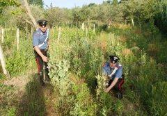 Baselice. Scoperta dai Carabinieri piantagione di papaveri da oppio