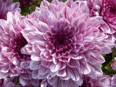 Fiore petaloso
