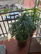 Benevento. Coltivava marijuana sul balcone: arrestato dalla Polizia