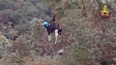 Una mucca cade in un dirupo, imbracata e salvata dai Vigili del fuoco