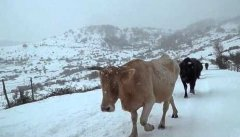 Mucche neve
