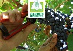 Coldiretti raccolta uva
