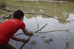 Nicotterina impigliata in una lenza da pesca salvata dai volontari della Lipu