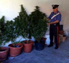 Carabinieri di Pontelandolfo - Le piante di cannabis sequestrate